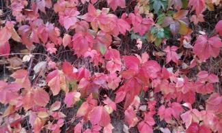 Red coloured leaves.